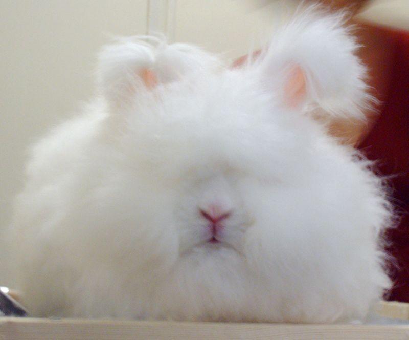 Raising Rabbits for Fiber (Angora)